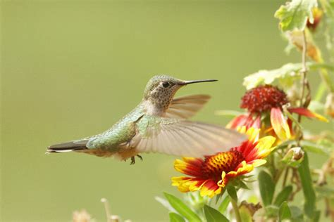 learn how to attract hummingbirds to your yard
