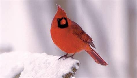 cardinals wild birds unlimited wild birds unlimited