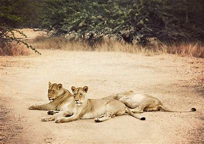 Lion Safari Animated Lioness Cinemagraph Gifs Africa