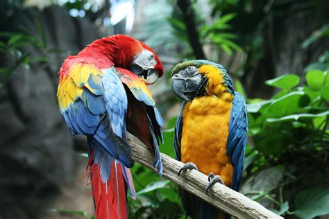 Macaw parrot bird tropical (1) wallpaper