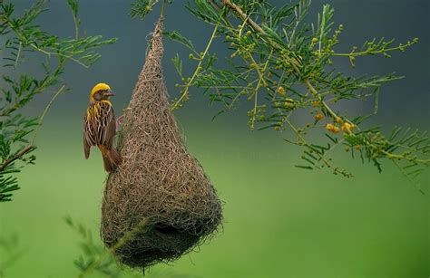 birds that weave nests weaver bird nest animals i love pinterest