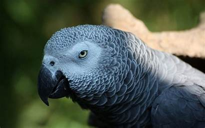 4k Grey Parrot African Background Ultra Normal