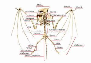 Animal Kingdom    Flying Mammal    Bat    Skeleton Of A