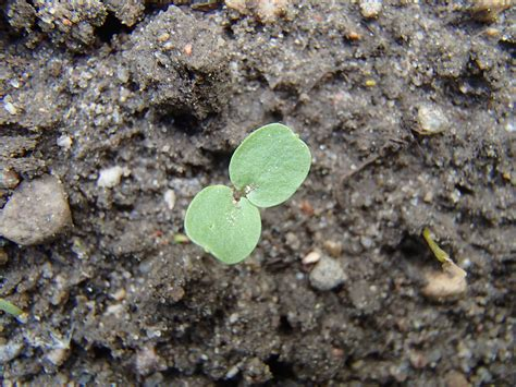 Integrētā augu audzēšana un kaitīgo organismu monitorings