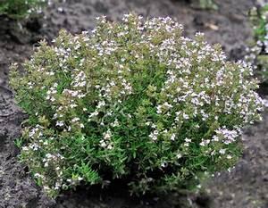 Pianta Aromatica: Aneto erba aromatica alimentipedia enciclopedia degli alimenti Origano