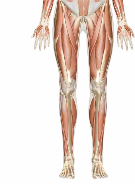 .leg muscle pain, upper leg muscle weakness, human muscles, leg muscle diagram anatomy, leg muscle related posts of upper leg muscle diagram. Muscles of the Leg and Foot