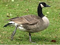 The Canada Goose | A Wild Bird | The Wildlife