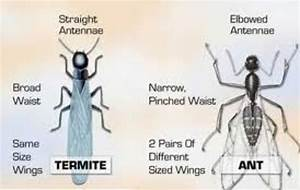 What Does a Termite Look Like? A Handy Guide to Identification