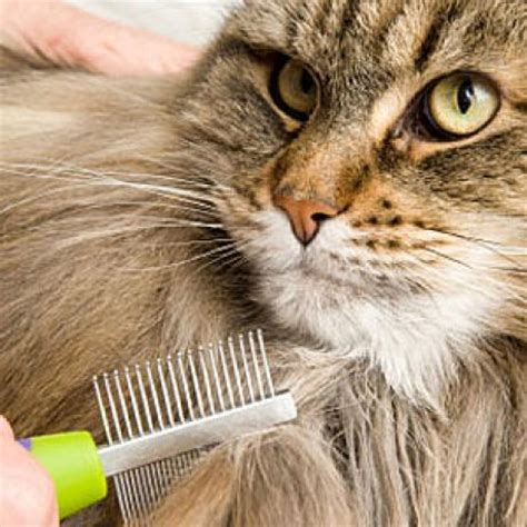 cat grooming cat grooming catster