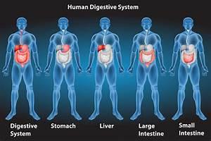 Digestive System Free Vector Art
