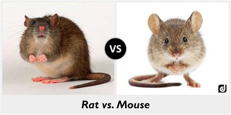 difference between rat and mouse the differences between rats and mice pestwiki