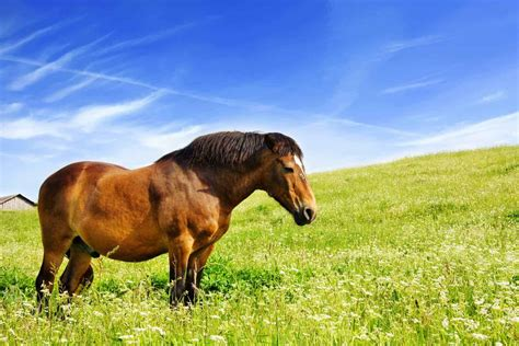 horse fat horses obesity laminitis signs body yes early thehorse equine obese feed equestrian warning overweight grass weight field reduce