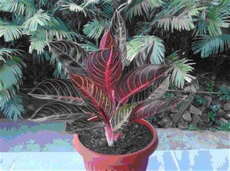 jual tanaman hias indoor aglaonema pride red sumatra