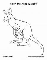 Coloring Wallaby Pages Animals Line Drawing Drawings Kangaroo Animal Mammals Sheet Zoo Literacy Printable Google 1coloring sketch template