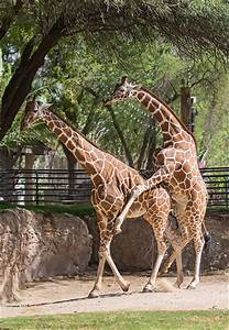 Giraffes Mating | Flickr - Photo Sharing!