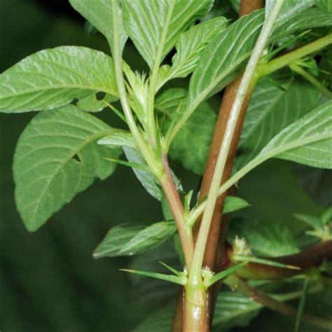 tanaman herbal sekitar kita manfaatnya