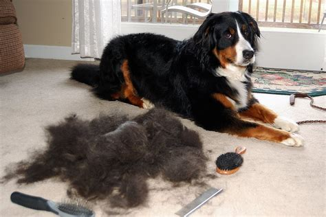 what season do dogs shed the most why do dogs shed in the fall rover