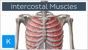 Intercostal Muscles - Function  Area  U0026 Course