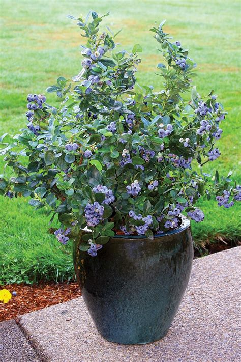 blueberry bush in pot top 10 tips for growing blueberries in the home garden