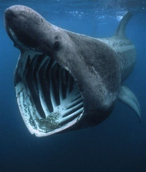 basking shark fun facts after the whale shark the
