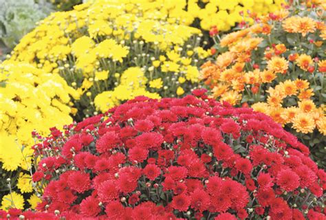can fall mums survive frost gardening articles archives boothbay region greenhouses