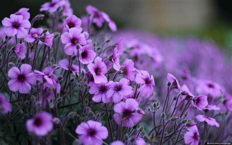 purple flowers most beautiful purple flowers for desktop new hd wallpapers