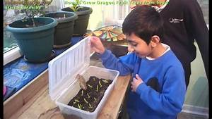 How To Grow Dragon Fruit Trees From Seed  Germinate