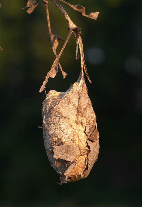 moth pupa | Roads End Naturalist