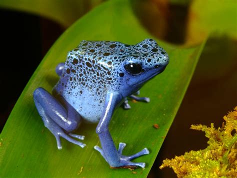 Tropical Animal Wallpaper - tropical blue frog animals wallpaper background bandit