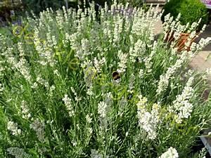 Olivenbaum Stecklinge Kaufen : lavendel samen deaflora lavendel mademoiselle samen ~ Michelbontemps.com Haus und Dekorationen