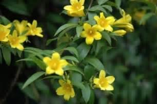 Yellow Jasmine Flower