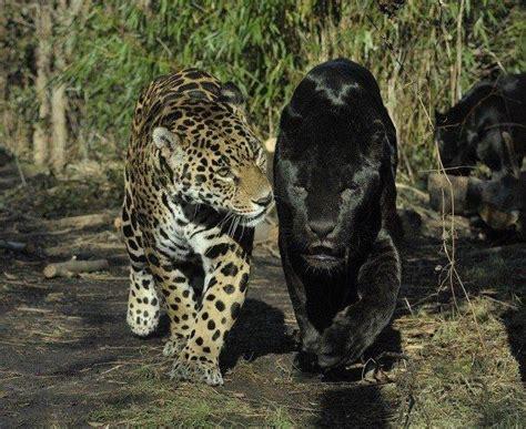 panter met zwarte panter zwarte panter en tijgers