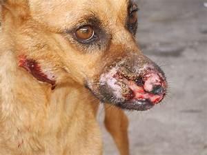 Visceral Leishmaniasis Canine in Teresina-Brazil ...