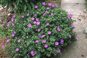 Blühende Kletterpflanzen Winterhart Mehrjährig : bl hende bodendecker f r den garten bodendecker ~ Michelbontemps.com Haus und Dekorationen