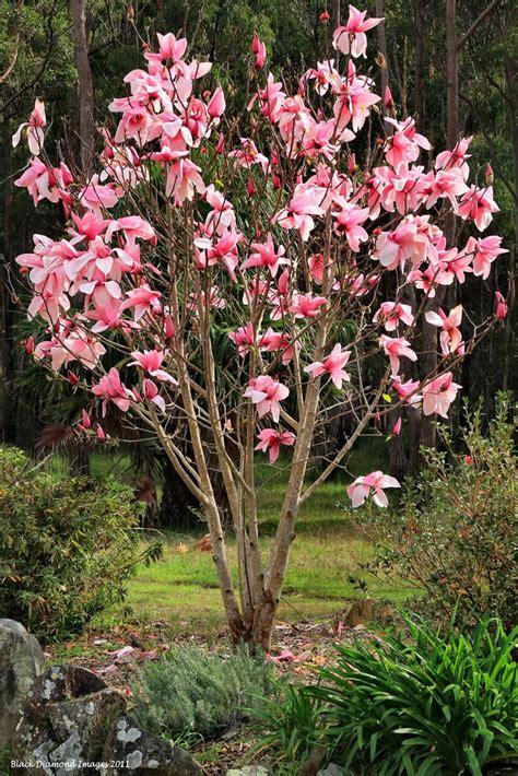 lily magnolia tree   kitchen sink window