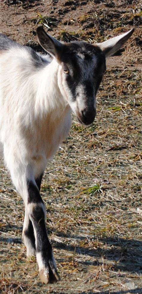 goat names 17 best images about goats on pinterest indigo baby goats and goat milk