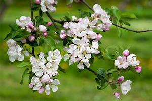 Spring Blossoms Apple Tree Branch
