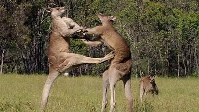 Kangaroo Wallpapers Animal Fight Quotes Australian Animals