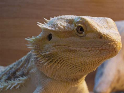 100 bearded dragon heat l distance exo terra