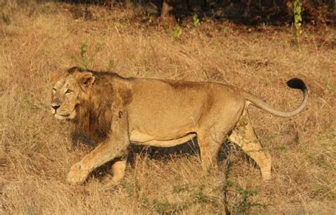 Nearly 200 Asiatic lions died in and around Gir in 2016