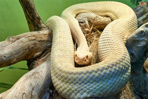 snakes as pets do pet snakes have to eat live food pets4homes