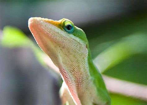 green anole bearded dragon community new to the forum