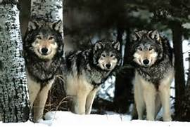 Gray Wolf Pack Wolves ...