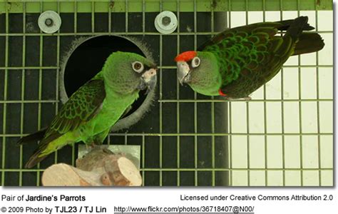 breeding poicephalus parrots set   care