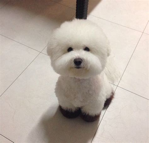 577 best bichon fris 233 images on pinterest bichons