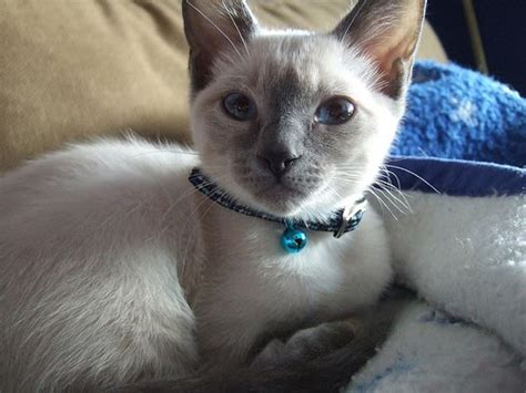 Blue Point Siamese Kitten  Blog About Cats