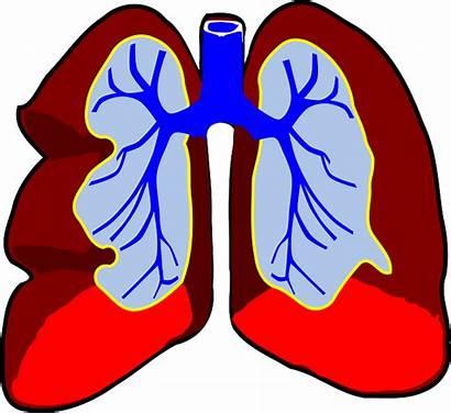 Lungs Organ Biology Pixabay Respiratory