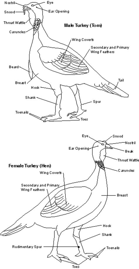 Male Wild Turkey Anatomy
