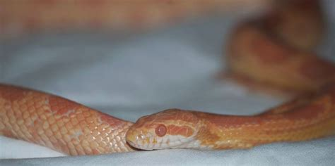Corn Snake Shedding Time by The Joys Of Reptile Keeping And Awesome Reptiles March 2014