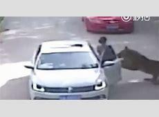 Shocking moment tiger attacks woman and kills mum after